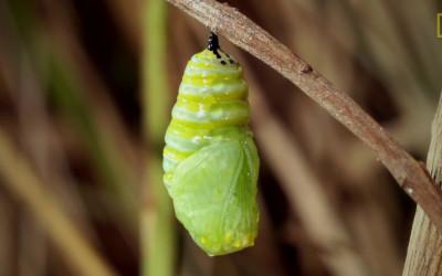 Nat Geo - de oruga a mariposa
