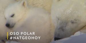 Nat Geo - osos polares