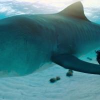 Imagen de Nat Geo - Nadar con Tiburones