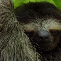 Imagen de BBC Planet Earth II Perezoso pigmeo